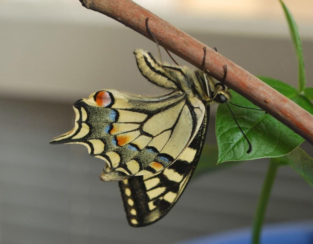 Foto Pixabay Raupe wird zum Schmetterling